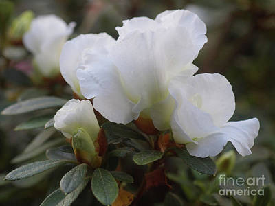 Photograph - White Rhododendron 2 by Rudi Prott