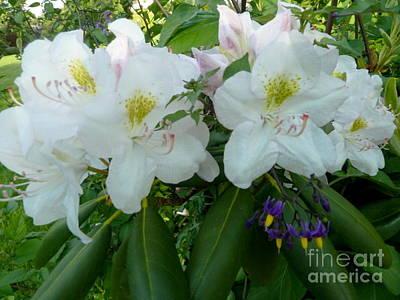 Photograph - White Rhododendron by Anna Folkartanna Maciejewska-Dyba