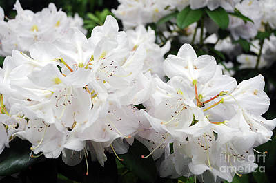 Photograph - White Rhododendron by Cindy Murphy - NightVisions