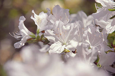Photograph - White Rhododendron Flowers by Jenny Rainbow
