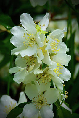 Photograph - White Rhododendrons by Tikvah's Hope