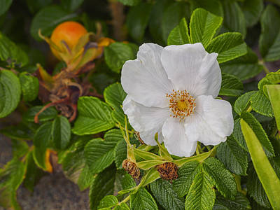 Photograph - White Rosa Rugosa Beach Rose by Marianne Campolongo