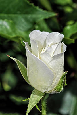 Photograph - White Rose 1 by Isam Awad