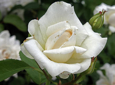 Photograph - White Rose 2 by Ellen Tully