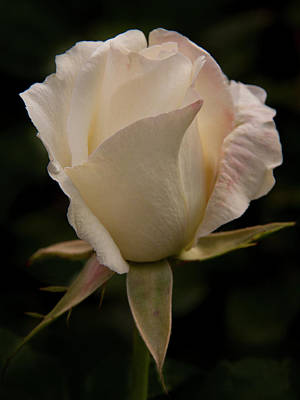 Photograph - White Rose - 365-365 by Inge Riis McDonald