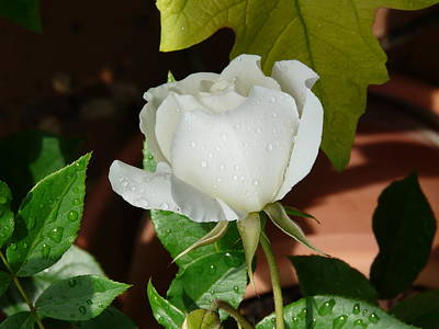 Photograph - White Rose After Rain 1 by Valerie Ornstein