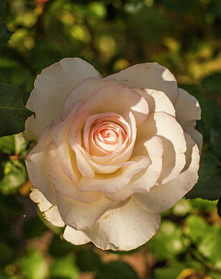 Photograph - White Rose by Amy Warr