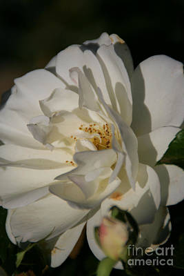 Photograph - White Rose by Andrea Jean