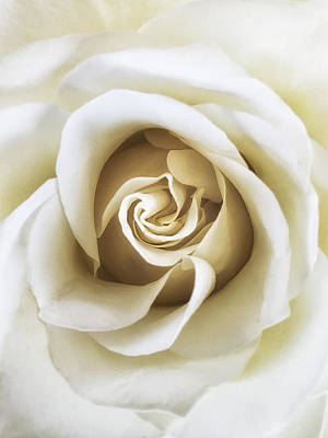 Roses Royalty-Free and Rights-Managed Images - White Rose by Andrew Soundarajan
