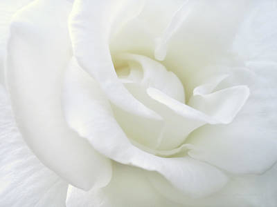 Flower Closeup Photograph - White Rose Angel Wings by Jennie Marie Schell