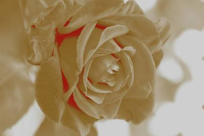 Photograph - White Rose by Athala Carole Bruckner