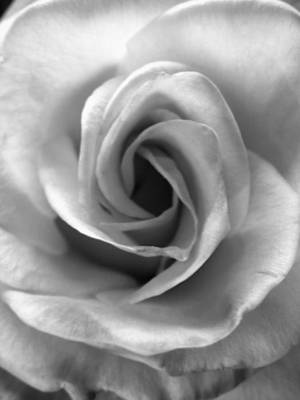 Photograph - White Rose by Beverly Johnson