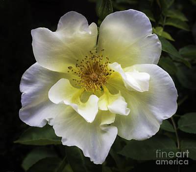 Photograph - White Rose  by Bitter Buffalo Photography