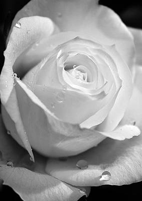 Photograph - White Rose by Brian Roscorla
