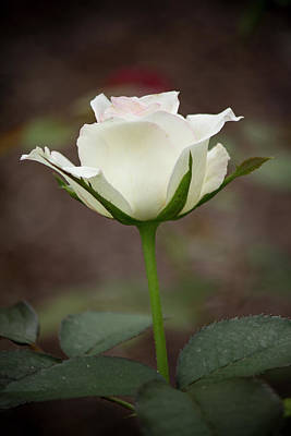 Photograph - White Rose Bud by Teresa Wilson