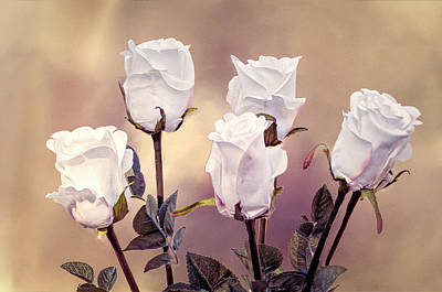 Photograph - White Rose Buds by Maria Coulson