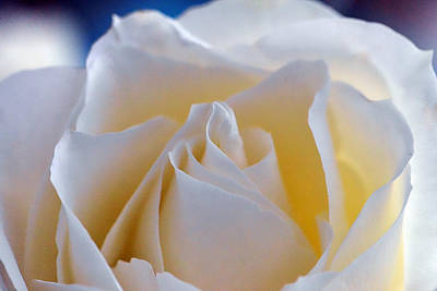Photograph - White Rose by Chandler Walker