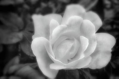 Photograph - White Rose by David Cote