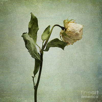 White Rose Desiccated Art Print by Bernard Jaubert