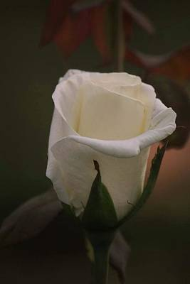 Photograph - White Rose by Donna G Smith