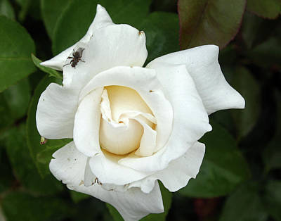 Photograph - White Rose by Ellen Tully