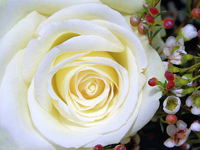 White Rose Art Print by Graham Taylor