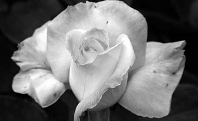 Photograph - White Rose by Holly Ethan
