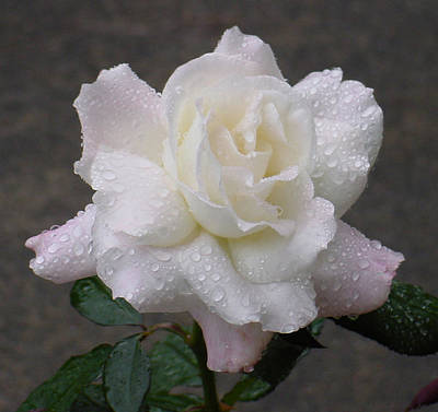 White Rose In Rain - 3 Art Print