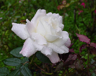 White Rose In Rain Art Print by Shirley Heyn
