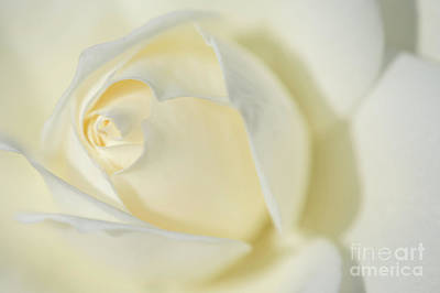 Photograph - White Rose Inocence Purity And Secrecy by David Zanzinger