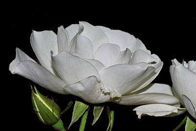Photograph - White Rose by Isam Awad