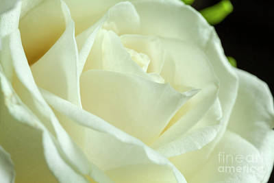 Photograph - White Rose by Jim Orr