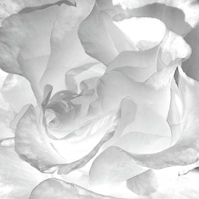 White Rose - Limited Edition Available 1 Of 25 Original