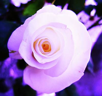 White Rose Art Print by Mary Ellen Frazee