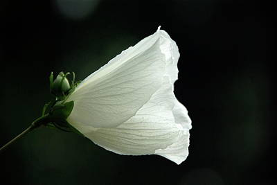 Photograph - White Rose Of Sharon by Byron Varvarigos