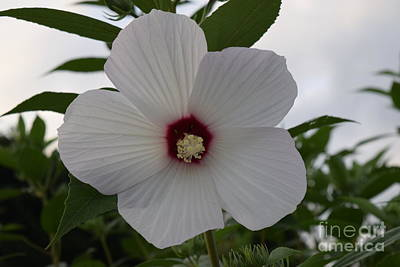 Photograph - White Rose Of Sharon by Jeannie Rhode