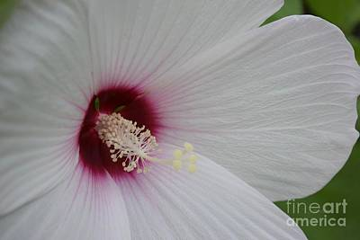 Photograph - White Rose Of Sharon Macro 2 by Jeannie Rhode