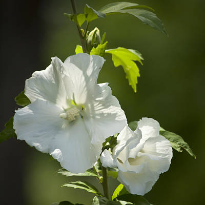 Althea Photograph - White Rose Of Sharon Squared by Teresa Mucha