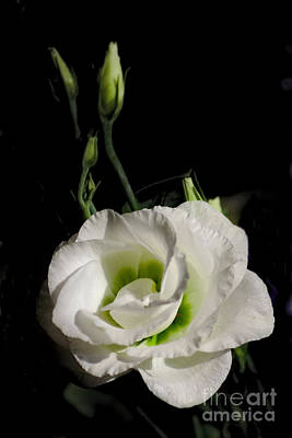 Photograph - White Rose On Black by Jeremy Hayden