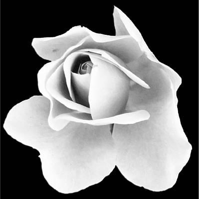 Digital Art - White Rose On Black by Michael Hurwitz