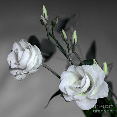 Photograph - White Rose Pair by Jeremy Hayden