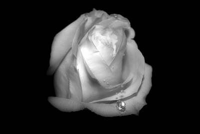 White Rose  Art Print by Gulf Island Photography and Images