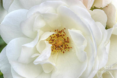 Photograph - White Rose Purity Secrecy by David Zanzinger