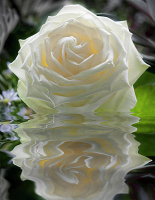 Photograph - White Rose Reflection by Alex Saunders