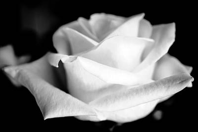 Photograph - White Rose by Ronda Broatch