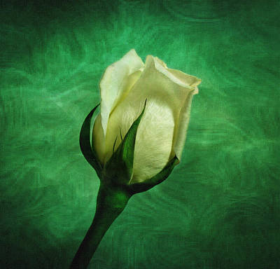 Photograph - White Rose by Sandy Keeton