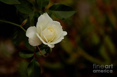 Photograph - White Rose by Sean Griffin