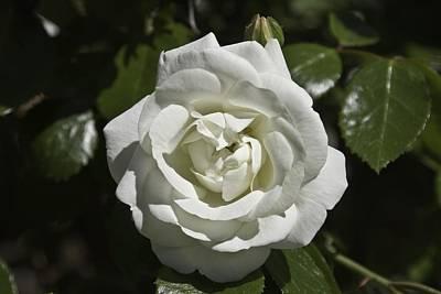 White Rose Art Print by Steve Kenney