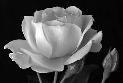 Photograph - White Rose by Terence Davis