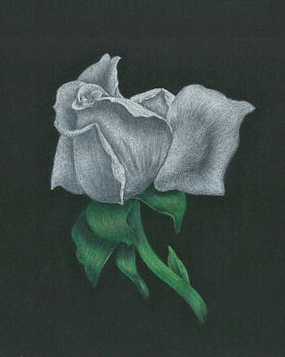 Drawing - White Rose by Troy Levesque